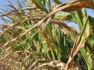 Climate change and the end of corn?