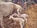 Lambs at fair