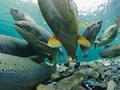 Salmon during mating season