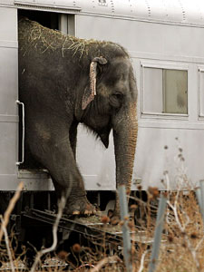 An elephant from the Ringling Bros. and Barnum & Bailey circus exits a train car in Chicago, as the circus prepares for a performance. Circus critics say the animals have inadequate space and ventilation as they travel across the country in trains.