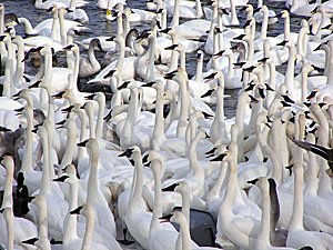A large flock of trumpeter swans enjoys the open water near Monticello.