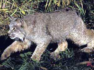 "Canada lynx are a ""medium"" sized cat, the size of a cocker spaniel. They have tufted ears, a bobbed tail, and large ""snowshoe"" feet."