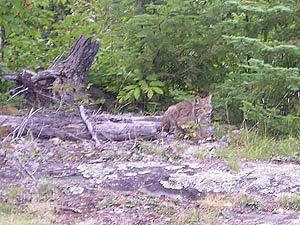 A Canada lynx spotted on the Gunflint Trail. Lynx are now often spotted in Northeast Minnesota forests, sometimes within easy view of roads. One was photographed resting in a Duluth residential neighborhood. Researchers say the animals were almost certainly missing from the state for many years, when very few were seen by the public.