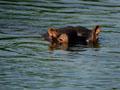 Hippo in Kruger National Park