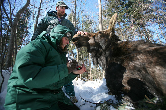 Minnesota Zoo veterinarian Tiffany Wolf and research biologist Mark Keech take blood samples from an 800-pound cow moose in the Superior National Forest. The team is trying to figure out the cause of increased mortality among moose in northeastern Minnesota.