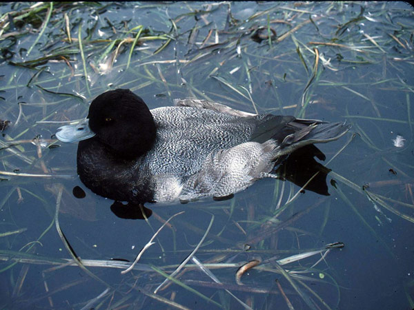 This lesser scaup is so sick it can't move. It could die floating on the water like a decoy.