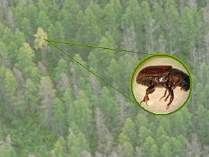 The eastern larch beetle has infested some 65,000 acres of tamarack forest in northern Minnesota. Experts say there's little they can do to stop the insect.