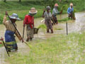 Myanmar women plant rice