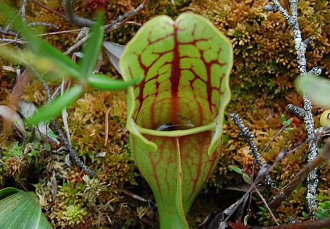 Carnivorous plants pitcher plant - photo#23
