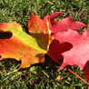 Maple leaves in mid-color change.