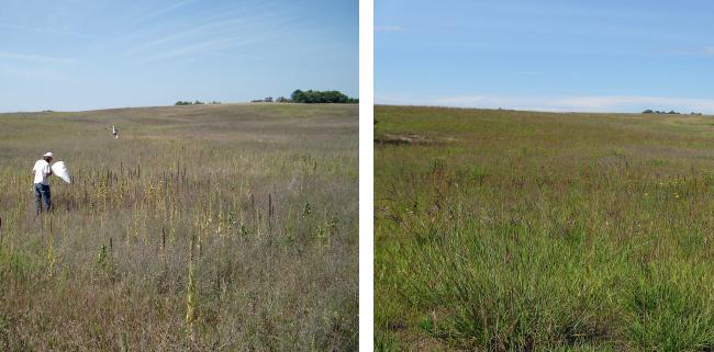 Insects killed off much of the invasive spotted knapweed on this Tamarac National Wildlife site over several years, allowing native plants to flourish and create a more diverse ecosystem for nesting birds.