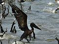 Oil-covered pelican