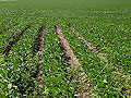 Soybean rows