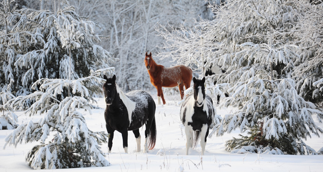 Horses roam through snow-covered trees in their pasture near the Lower Roy Lake Road in Nisswa, Minn., Friday Dec. 31, 2010. A winter storm swept through Central Minnesota Thursday night covering the area with rain, and later, four inches of fresh snow.