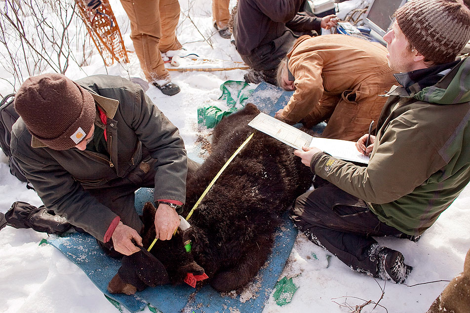 Measuring a bear