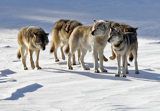 In this Feb. 10, 2006, file photo  a pack of gray wolves is shown on Isle Royale National Park in northern Michigan.