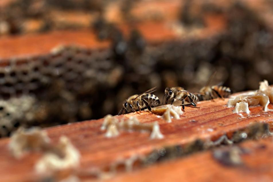 beekeepers closely watch population productivity minnesota public