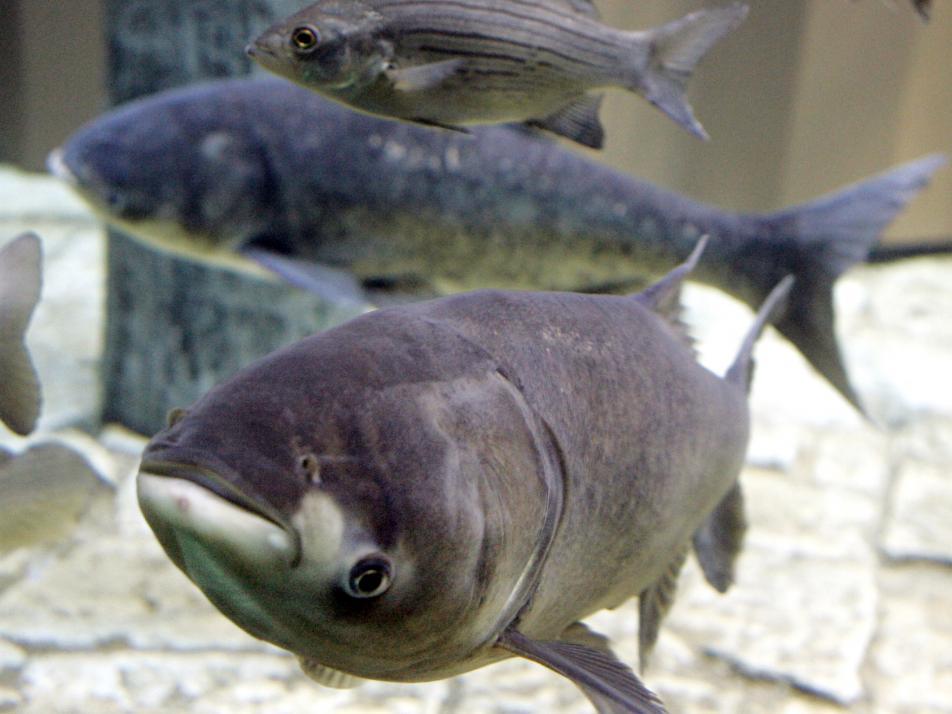 US official skeptical of closing locks to bar Asian carp ...