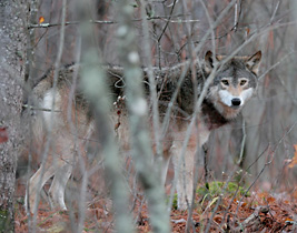 Minn. wolf hunt lawsuit gets hearing in appeals court