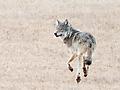 Trotting wolf