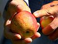 A damaged apple