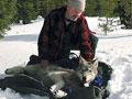 Radio collar on wolf