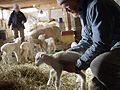 Dave Ellison releases a 3-day-old lamb