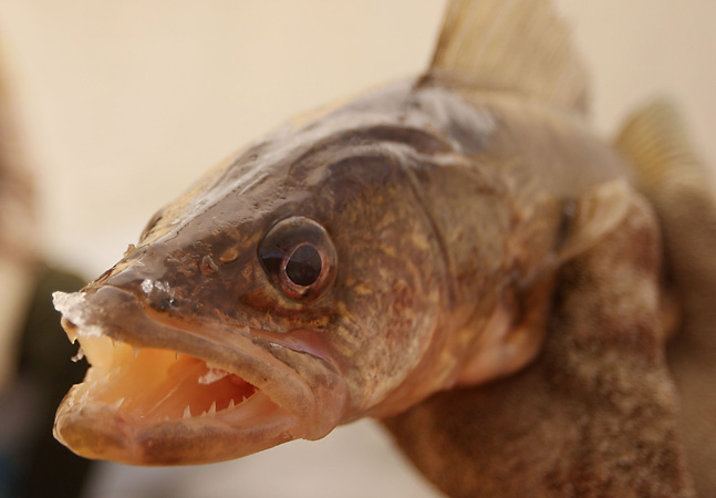 What happened to the poached walleye minnesota public for Walleye fishing columbia river