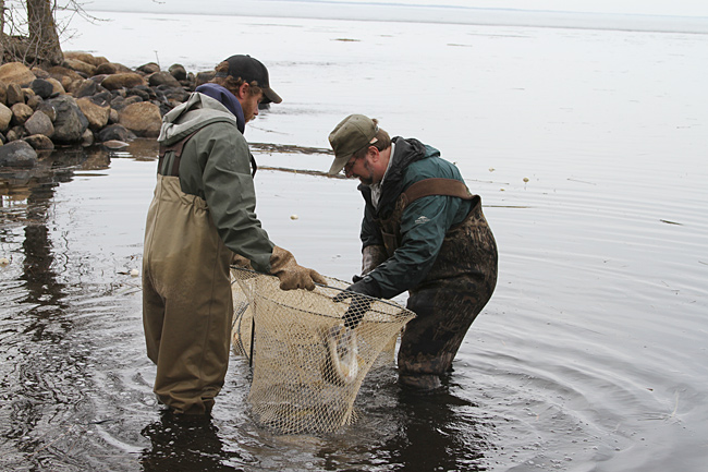 Walleye population decline in lake mille lacs concerns dnr for Lake mille lacs ice fishing