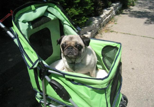 After Smudge's first spinal surgery, she got to ride in a snazzy Green stroller.