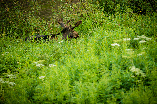 A moose decides to lie down on the trail to Crater Lake at the Maroon Bells