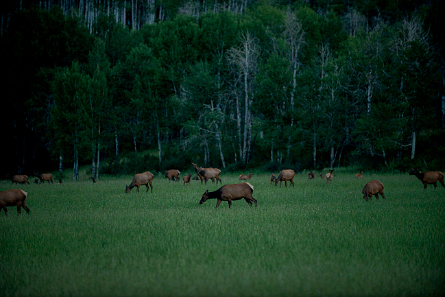 Elk in Snowmass, Colo.