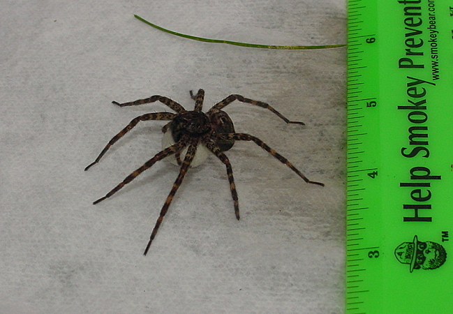 Fishing spider size - photo#26