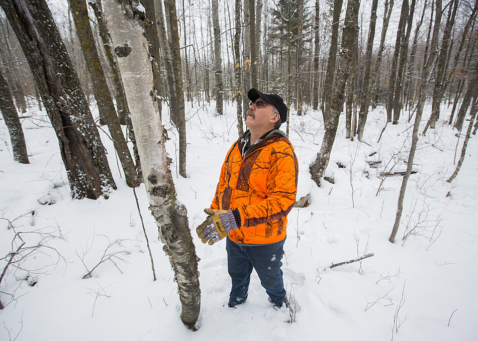 Shane Dugan, co-owner of Icecube Enterprises, inspects the upper reaches of a birch tree for chaga.