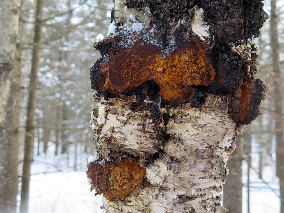 A growth of chaga after it's been harvested from a birch tree in northeast Minnesota.