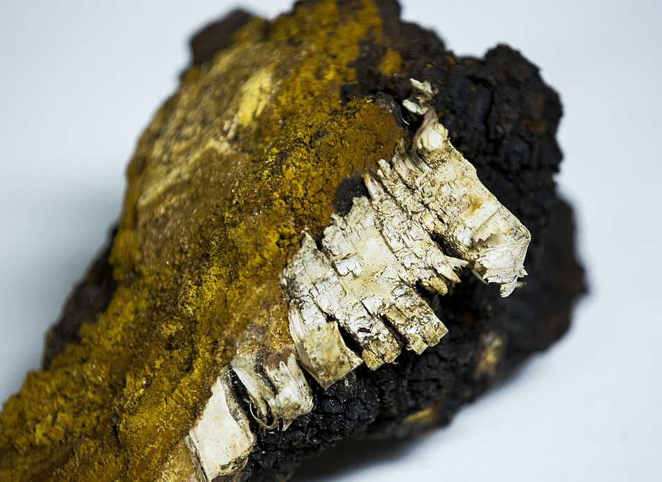 A piece of chaga with birch bark still attached sits in the offices of Icecube Enterprises in early January.